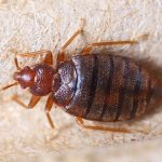 Bed Bug Removal Pest Control Services