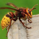 Wasp & Hornet Control