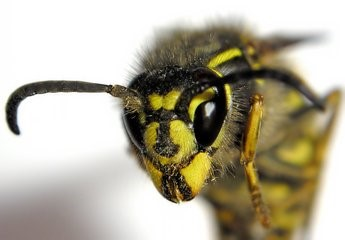 Are wasps becoming more dangerous?